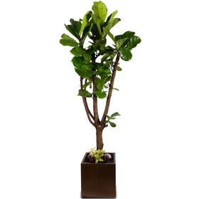 떨갈고무나무 (사각시멘트)